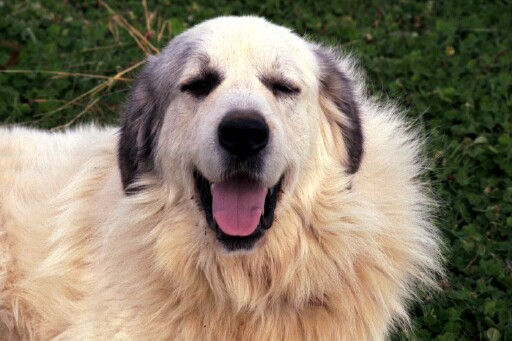 Great Pyrenees Guardian Dog